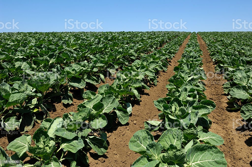 Brussels Sprouts Field on Hillside royalty-free stock photo