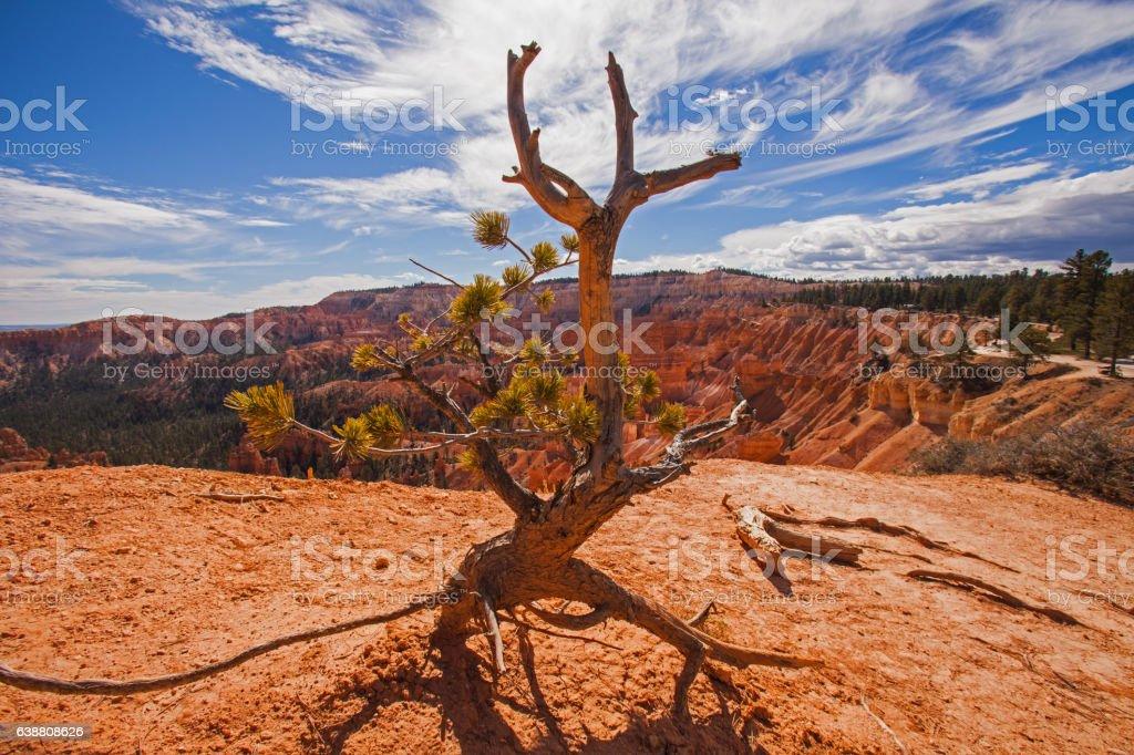 Bryce Bristlecone Pine stock photo