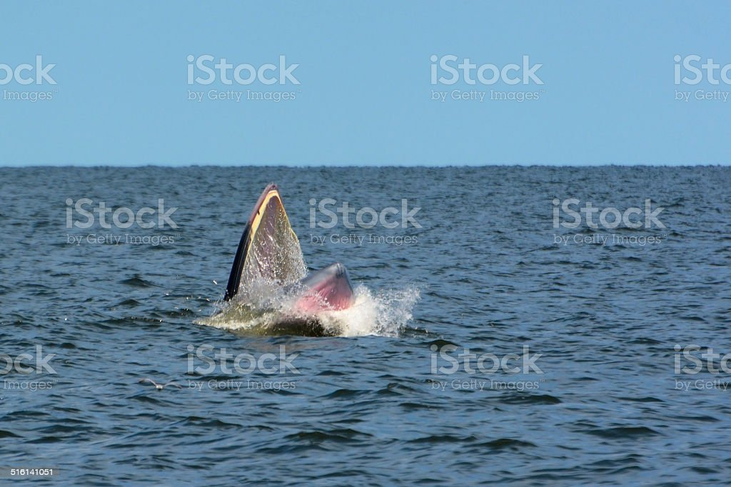 Bryde's Whale royalty-free stock photo