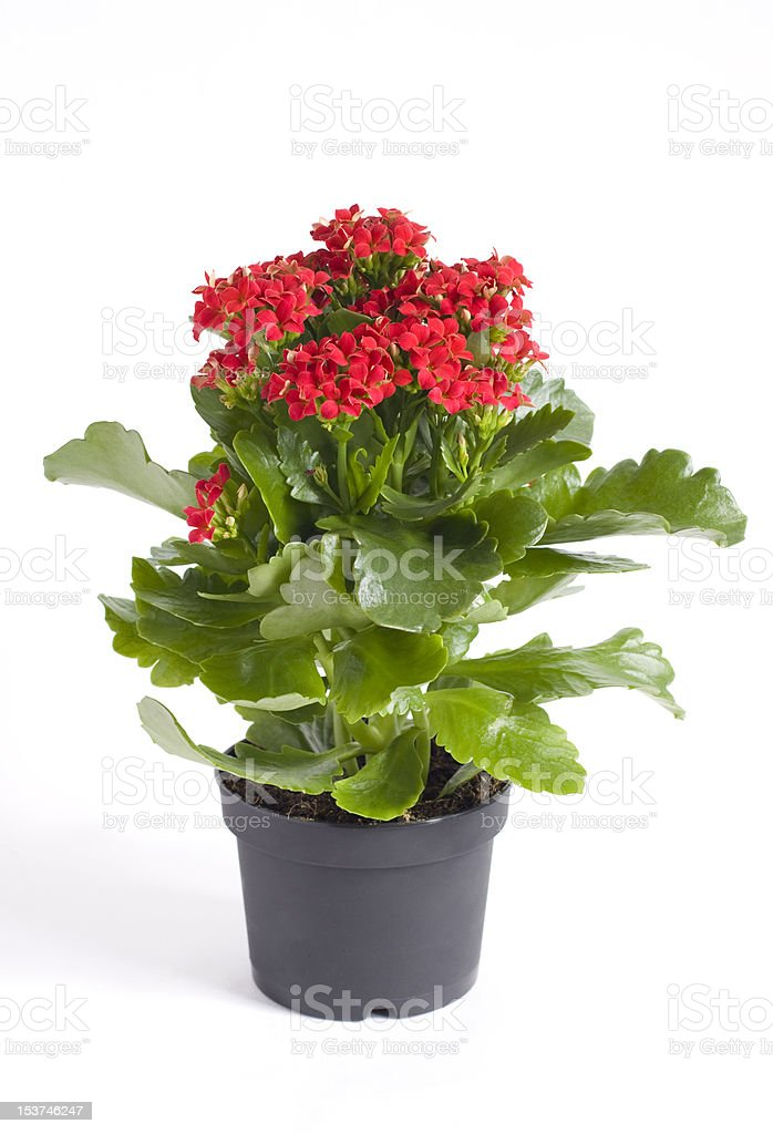 Bryophyllum stock photo