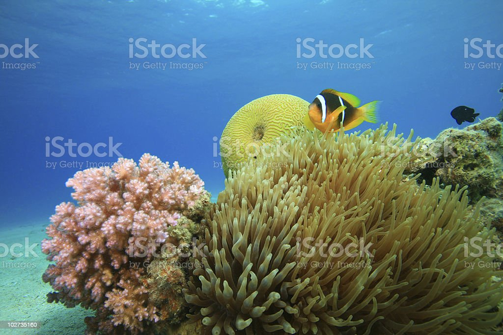 Bubble Anemone on coral reef stock photo