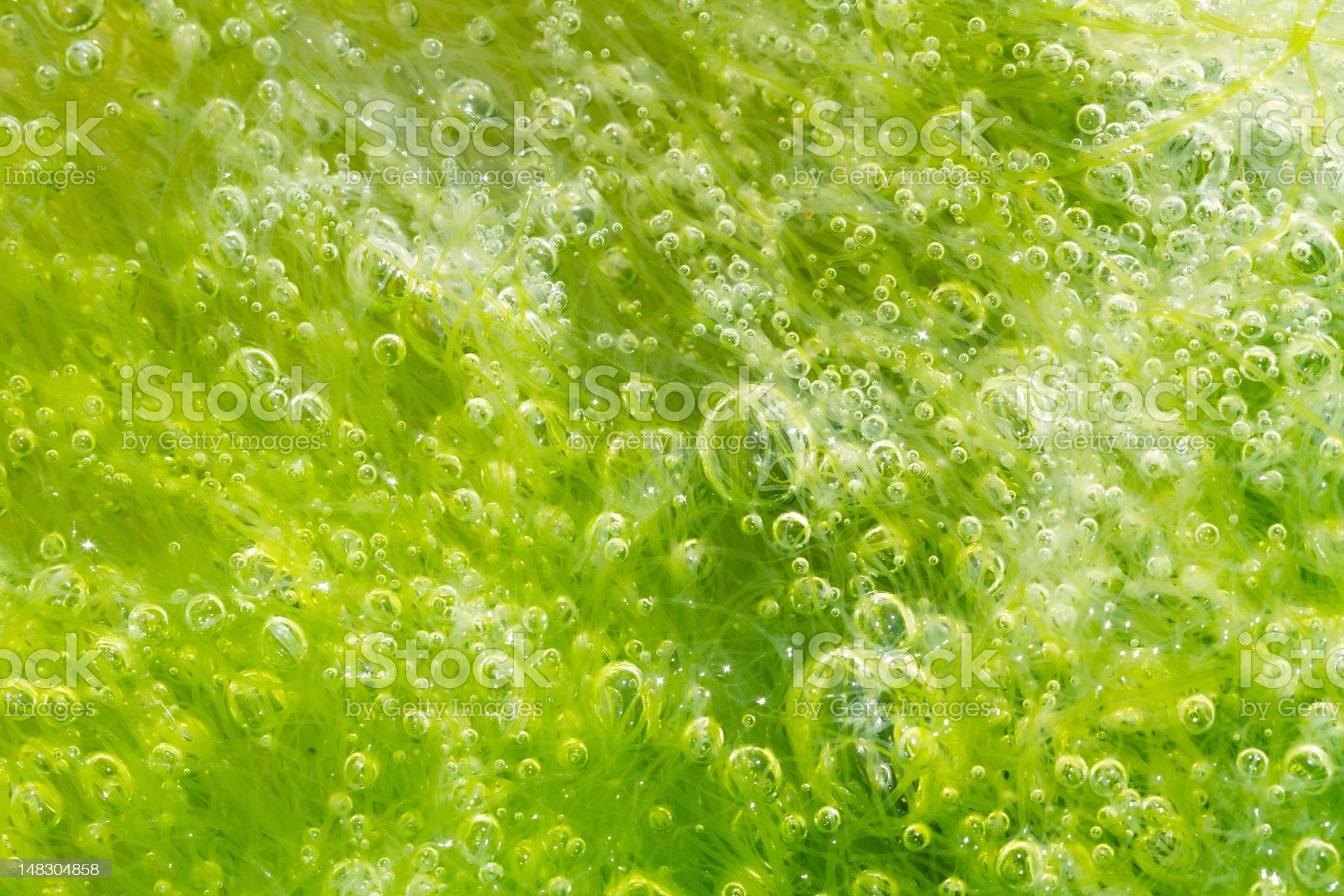 bubbles in seaweed royalty-free stock photo