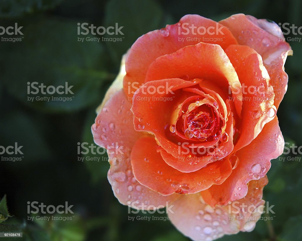Bubbling Rose stock photo