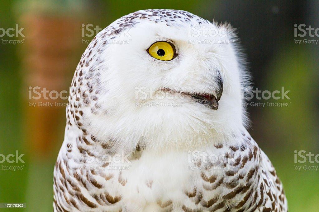 Bubo scandiacus or Snowy Owl stock photo