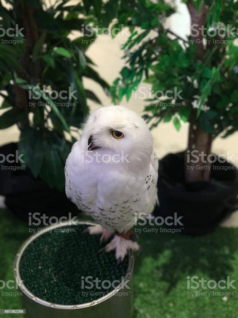Bubo scandiacus or Snowy owl. stock photo