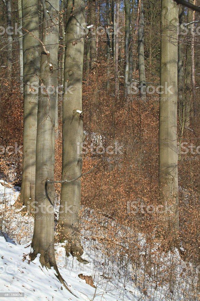 Buchen im Winter stock photo