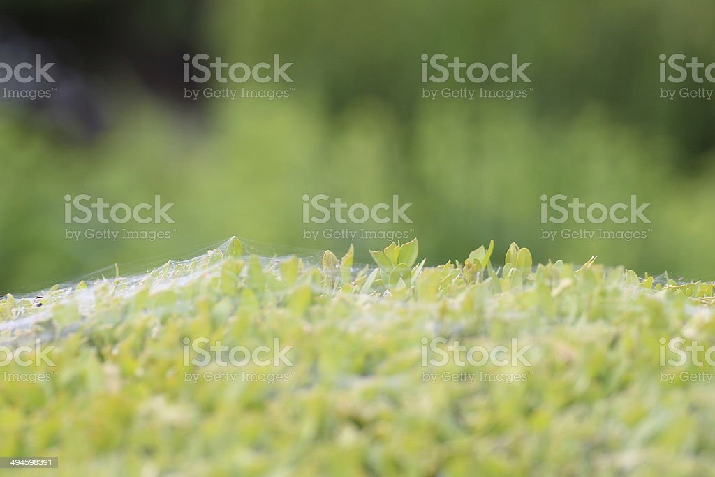 Buchs Strauch voller Spinnweben stock photo