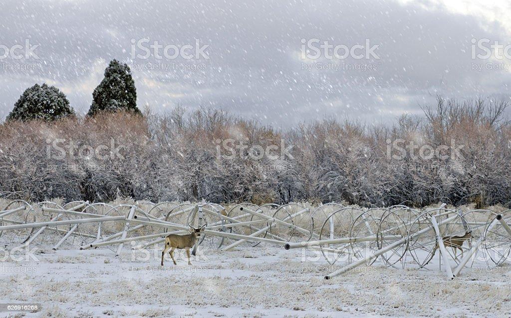 Buck and Doe deer in farmers field in the snow. stock photo