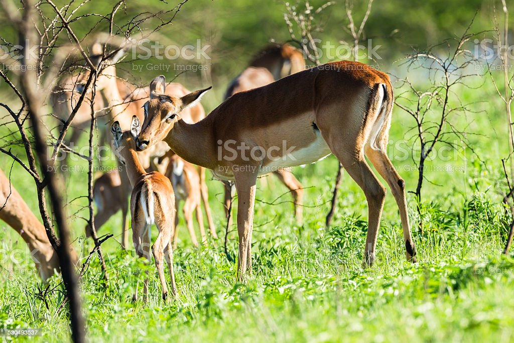 Buck Calf Wildlife stock photo