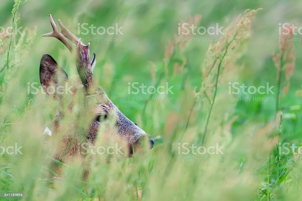 Buck deer hidden in the grass stock photo