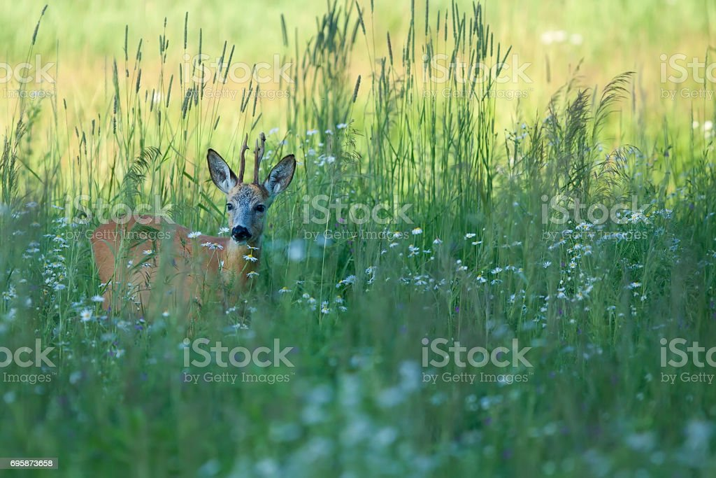Buck deer in a clearing stock photo