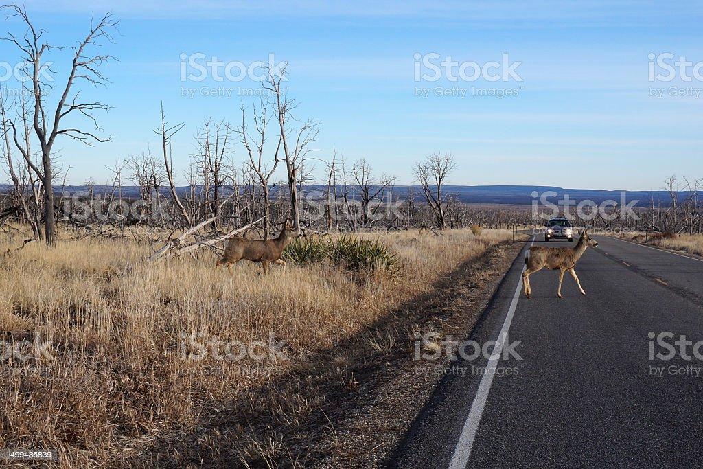 Buck Deer walks across road stock photo