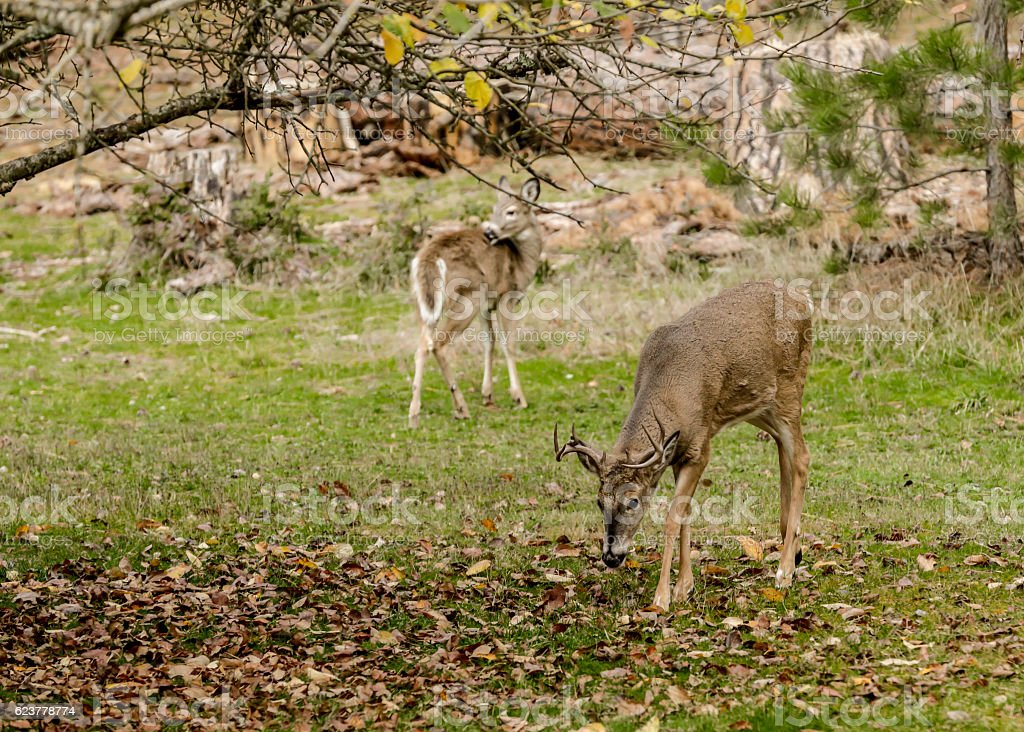 Buck grazes by tree. stock photo