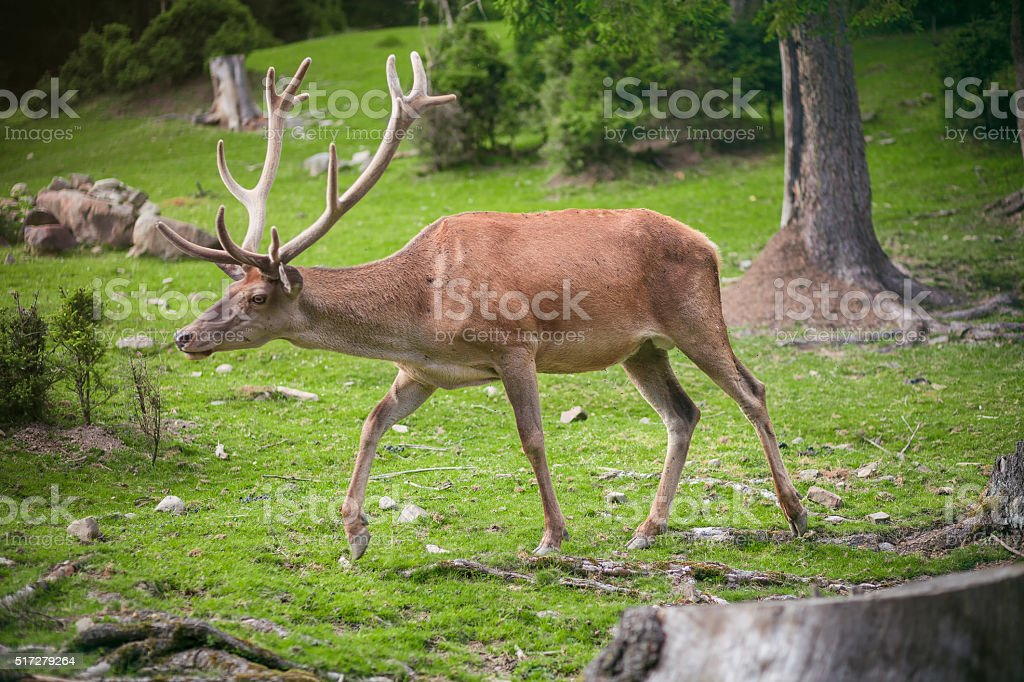buck in forest stock photo