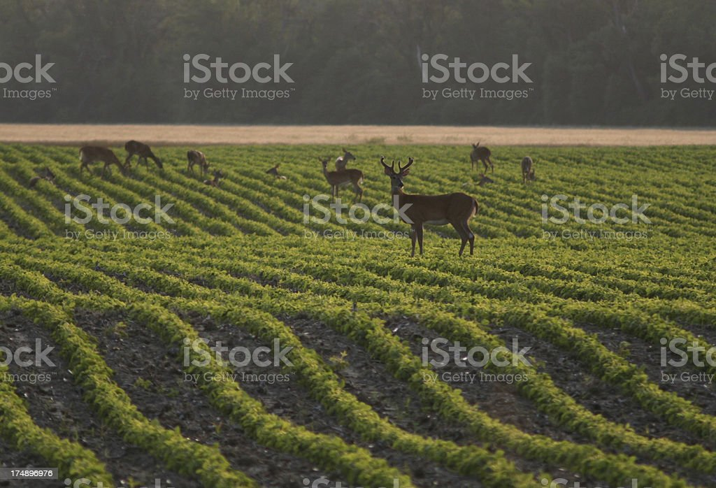 Buck in the Beans stock photo