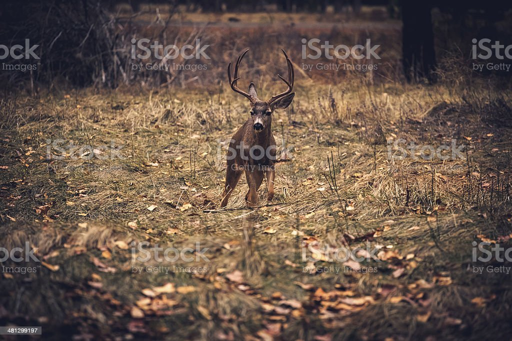 Buck in the Meadow royalty-free stock photo