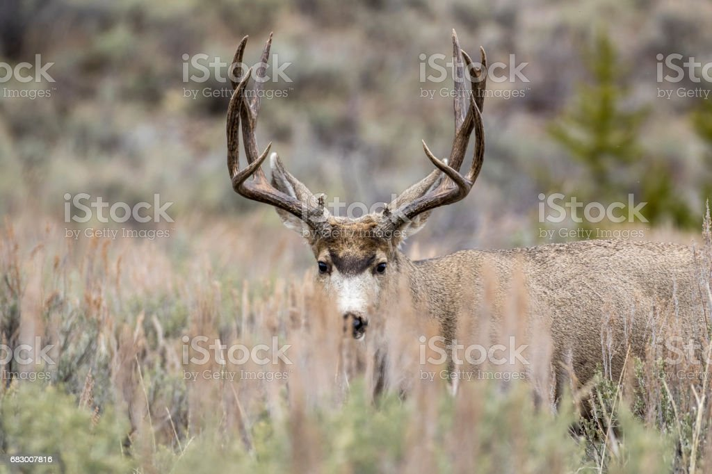 Buck mule deer hiding behind grass in meadow with sagebrush in autumn stock photo