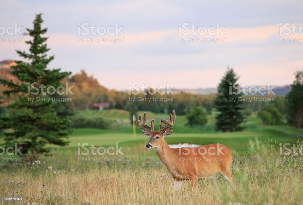 Buck on a Golf Course stock photo
