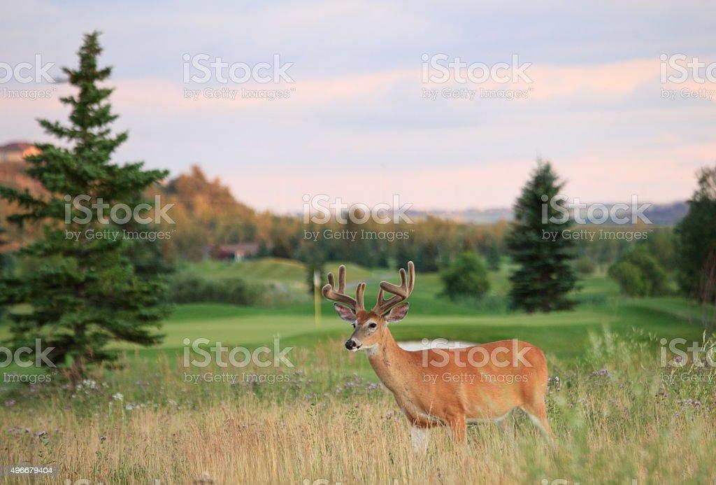 Buck on a Golf Course stock photo