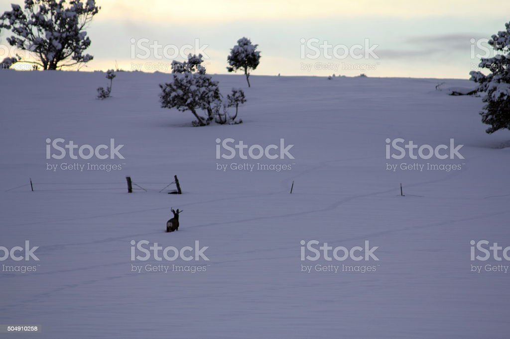 Buck trudging through deep snow, head up stock photo