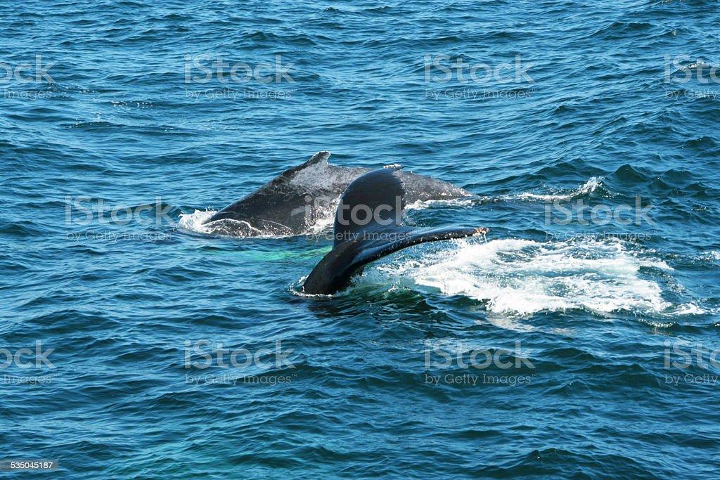 Buckelwale stock photo