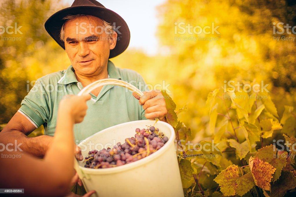 Bucket full of grapes stock photo