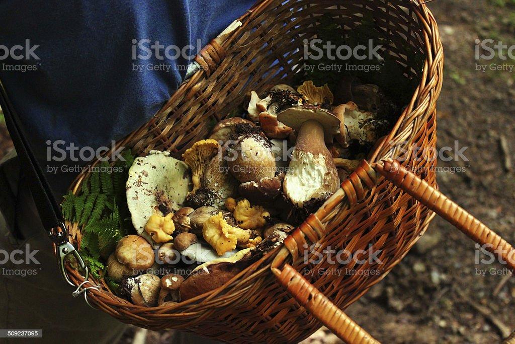 Bucket Full Of Mushrooms stock photo