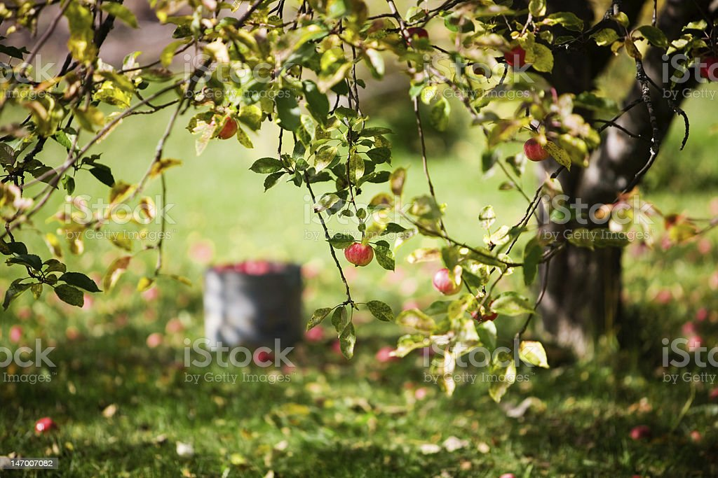 A bucket next to an apple tree royalty-free stock photo