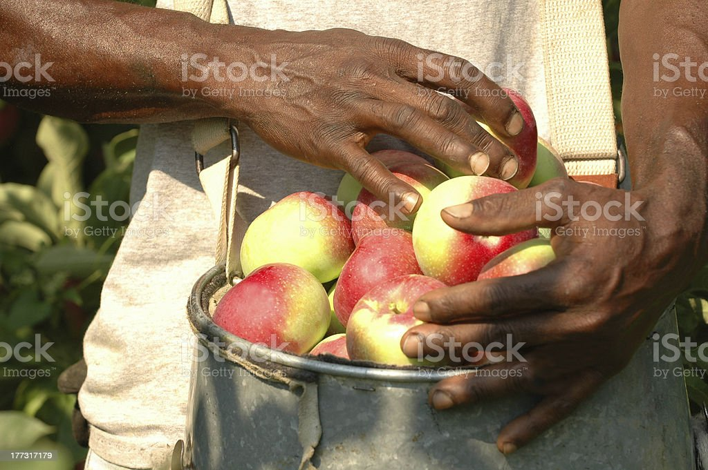 Bucket of Apples stock photo