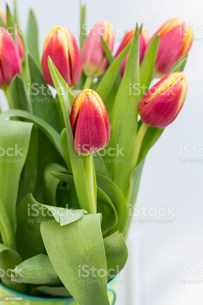 Bucket of Red Spring Tulip Flowers stock photo