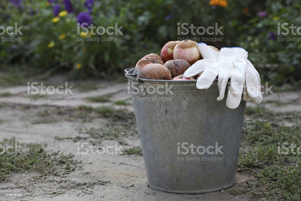 Bucket of rotten apples stock photo