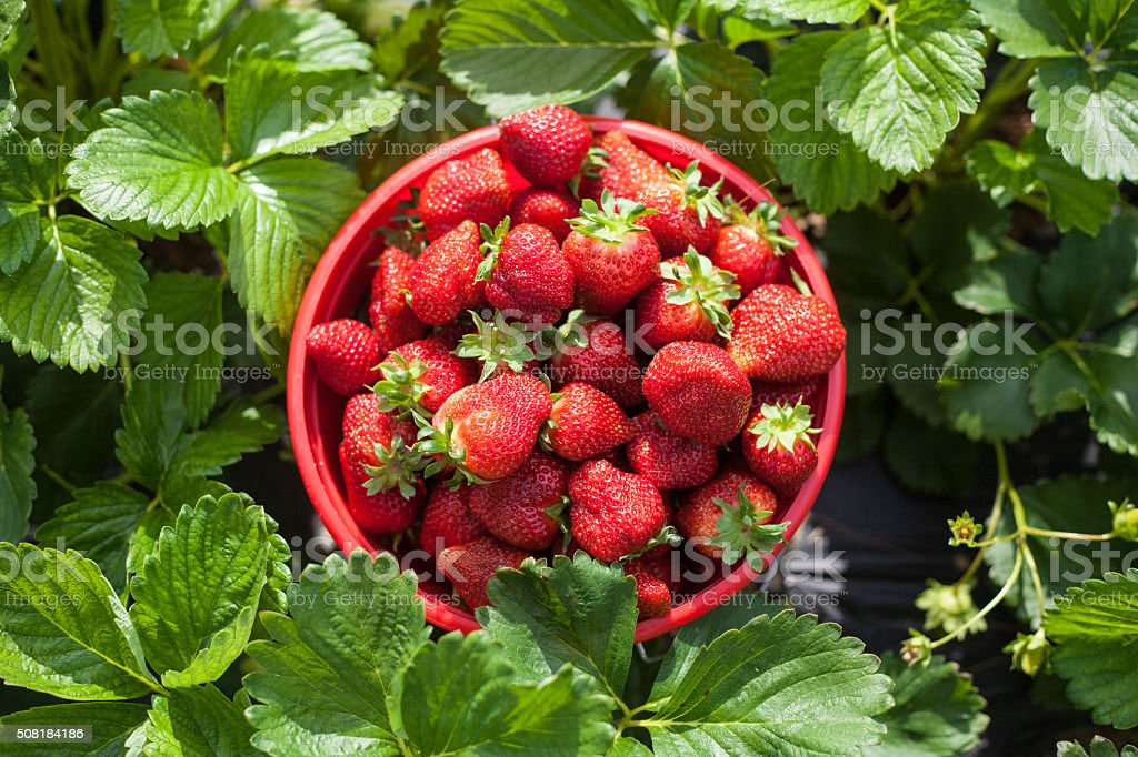 Bucket of Strawberries in a Strawberry field stock photo