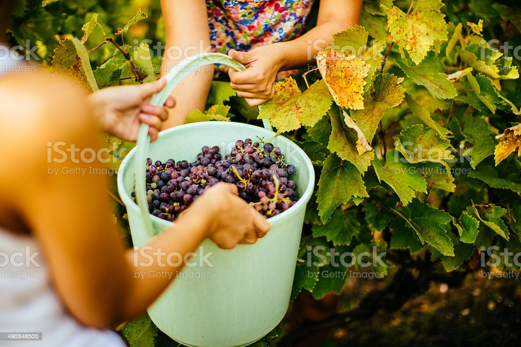 Bucket of the grapes stock photo