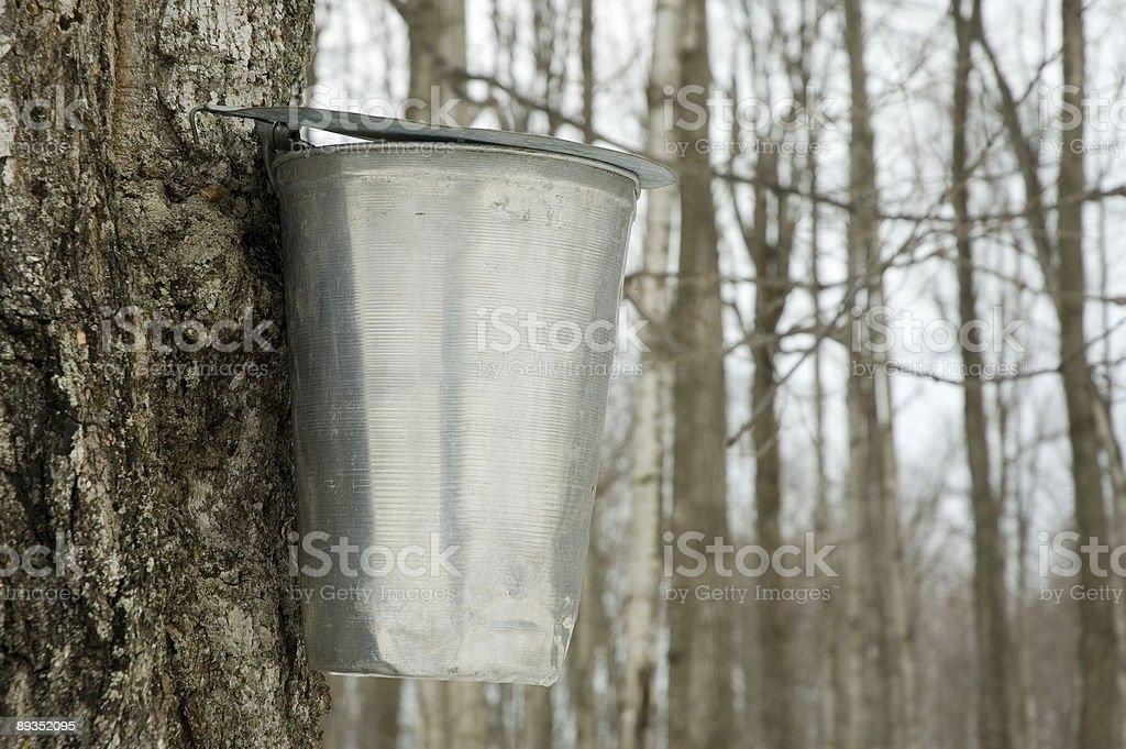 Bucket on a maple tree stock photo
