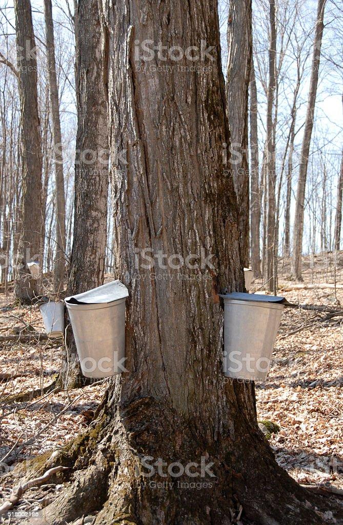 Buckets on trees stock photo
