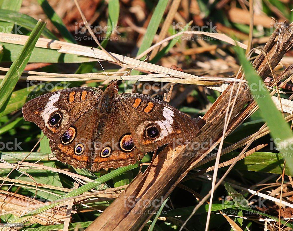 Buckeye Butterfly stock photo