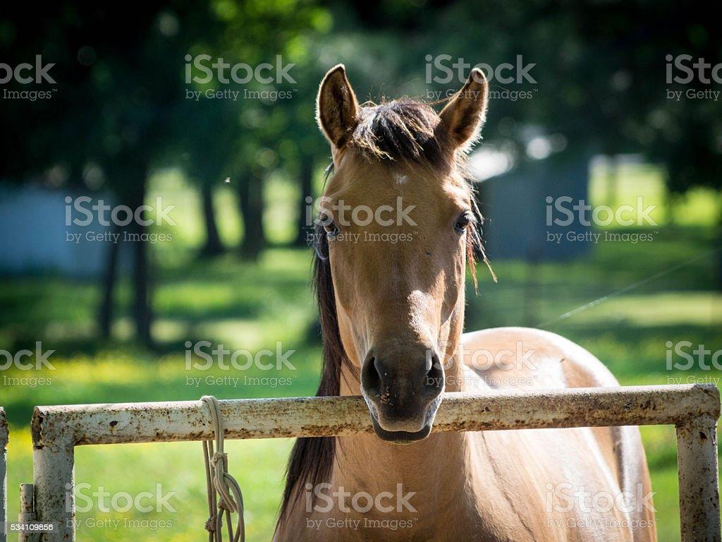 Buckskin Filly - Quarter Horse stock photo