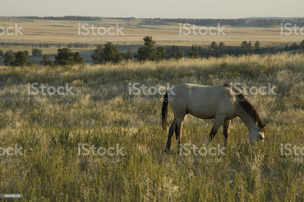Buckskin Foal at the Black Hills Wild Horse Sanctuary royalty-free stock photo
