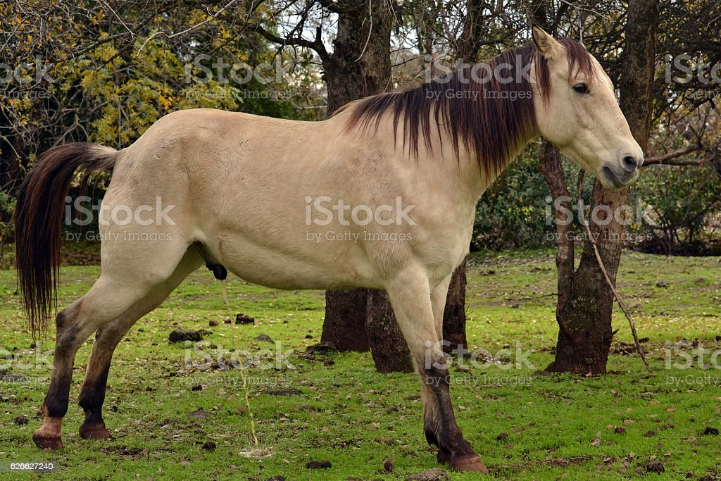 stallion pissing gallery