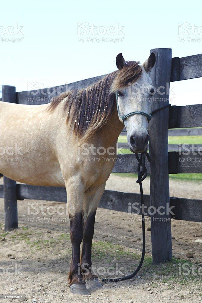Buckskin pony tied to fence royalty-free stock photo