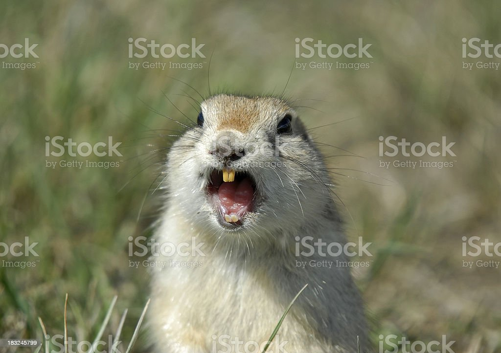 Bucktoothed Gopher stock photo