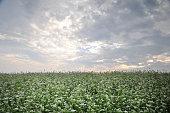 Buckwheat field in autumn