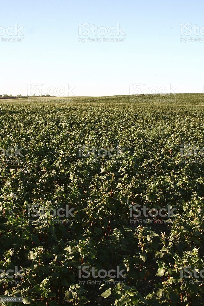Buckwheat Field royalty-free stock photo