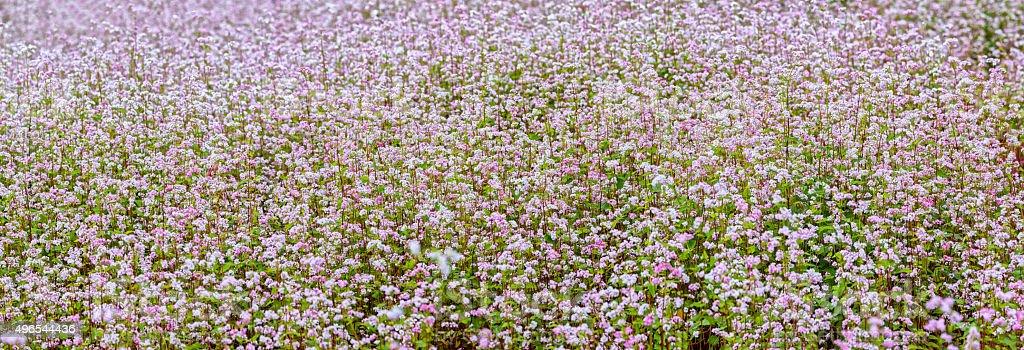 Buckwheat flower field Overview stock photo
