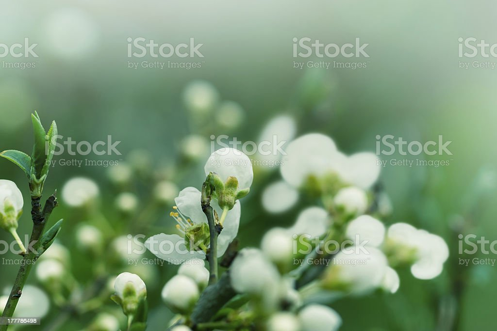 Bud - Flowering in April and May royalty-free stock photo