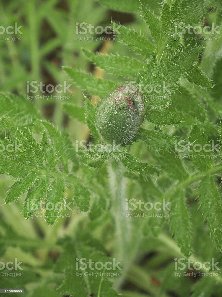 Bud of an Oriental Poppy royalty-free stock photo