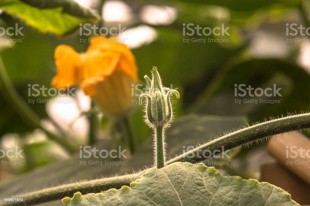 Bud of pumpkin stock photo