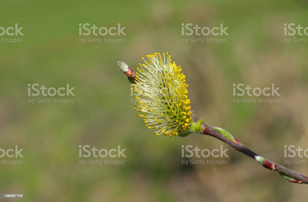 Bud of pussy-willow stock photo