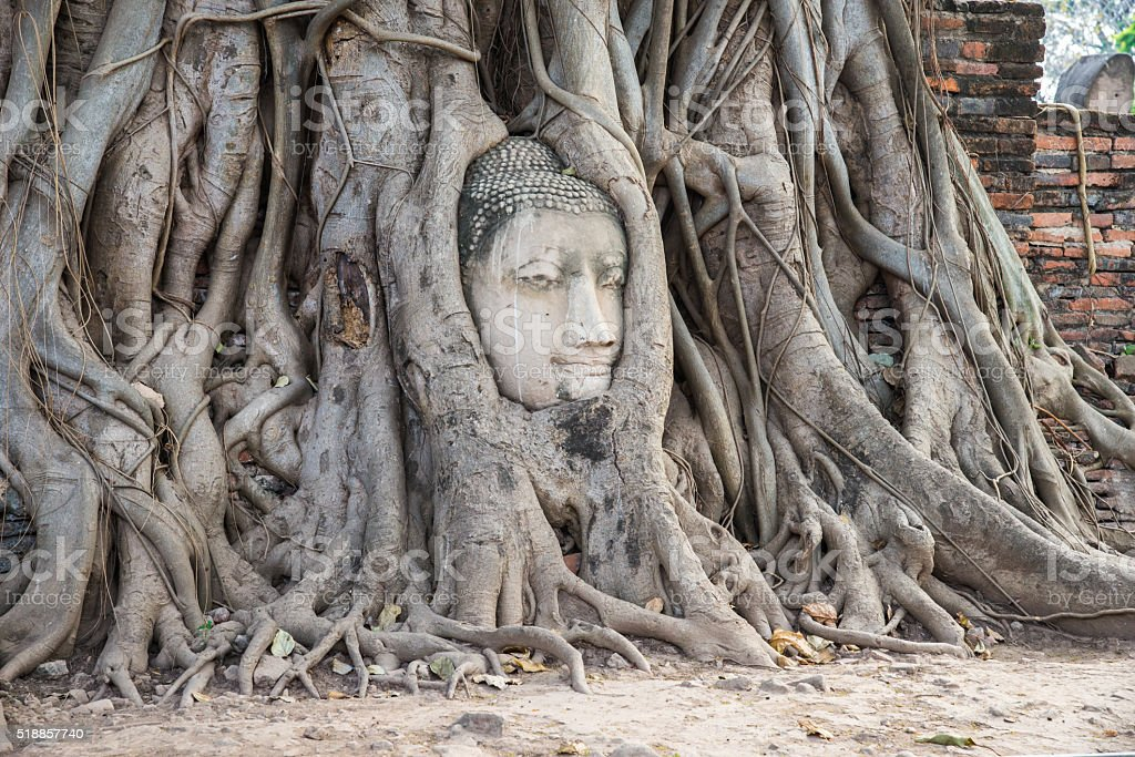 Buddha head in a tree trunk, Wat Mahathat stock photo