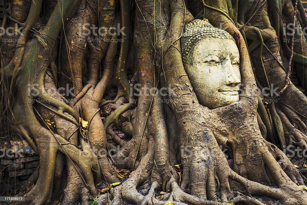 Buddha head in fig tree, Thailand royalty-free stock photo